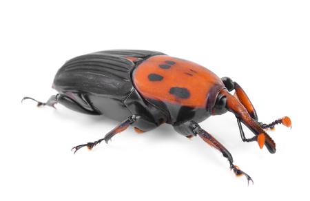 Le charançon rouge du palmier, Rhynchophorus ferrugineus, est une espèce de scarabée museau également connu sous le nom de charançon asiatique ou charançon du palmier sagoutier Banque d'images