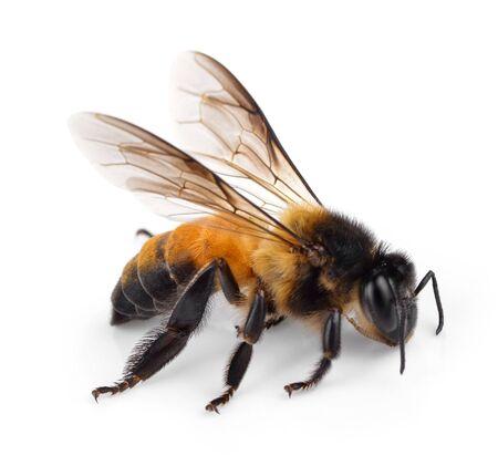 Bee isolated on white background Reklamní fotografie