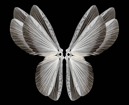 insect wings Isolated on a black background