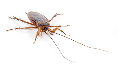 Cockroach isolated on a white background Stock Photo