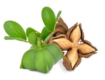 Sacha peanut on white