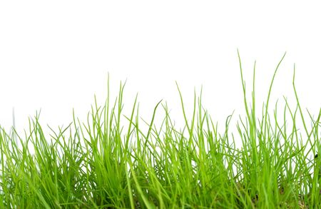 Erba verde isolata su fondo bianco