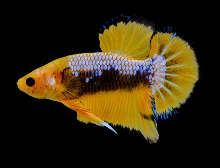 fighting fish in yellow on black background.