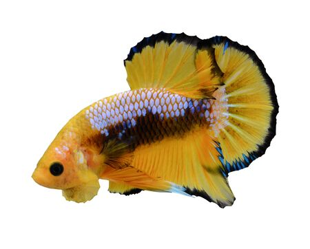 fighting fish in yellow isolated on white