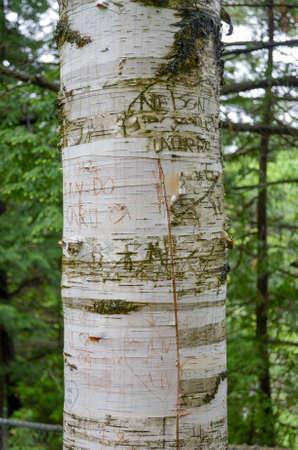 白樺の木に落書き 写真素材