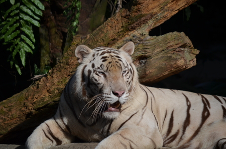 Portrait of a white tiger, sitting
