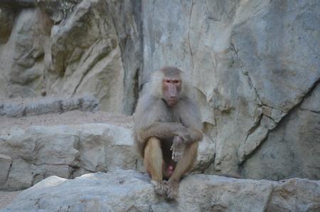 Portrait of a hamadryas baboon