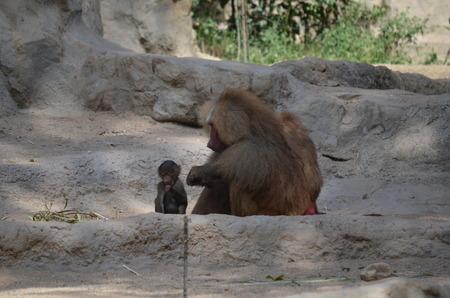 Portrait of hamadryas baboon family