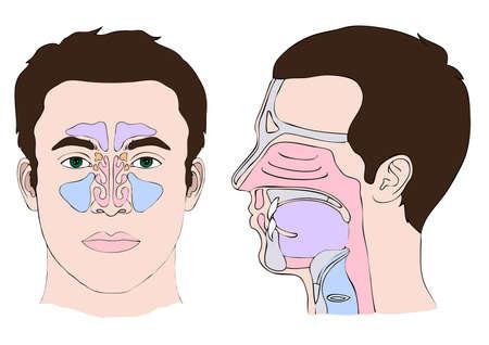 Anatomie du nez et la gorge Vecteurs