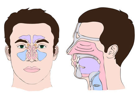 Anatomy of the nose and throat Vector