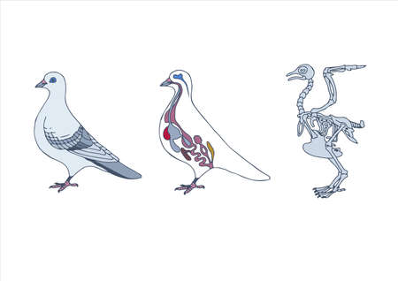 pigeons: zoology, anatomy of bird, cross-section and skeleton