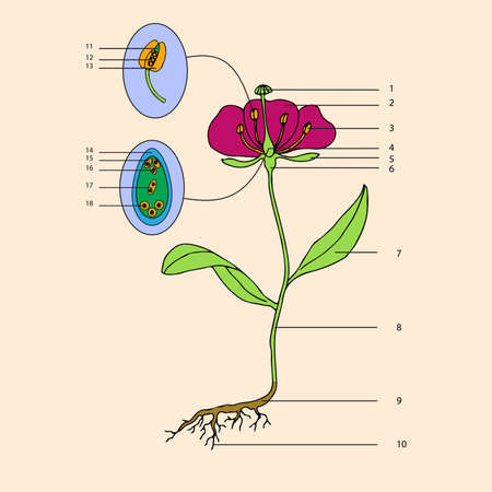 reproductive system: botanic, educational illustration of flower morphology Illustration