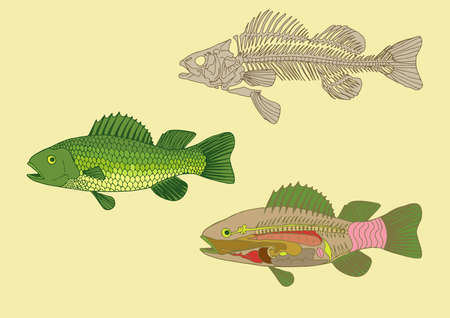 zoology, anatomy of fish , cross-section and skeleton