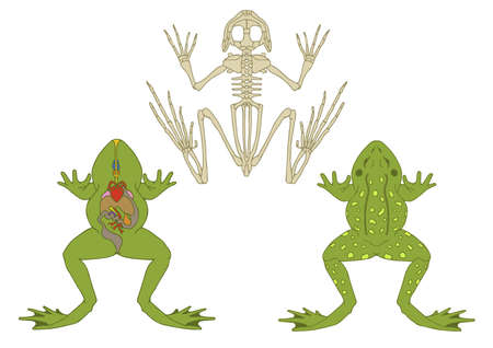 zoology, anatomy of amphibian, cross-section and skeleton Vector