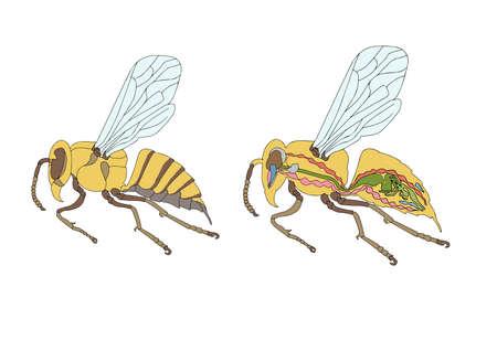 morphology:  zoology, anatomy, morphology, cross-section of bee