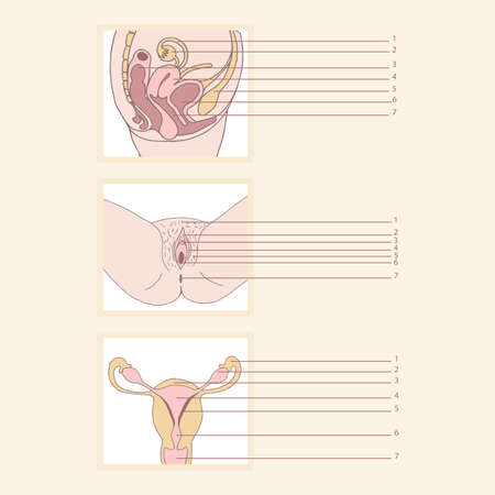 set of female reproductive system Vector