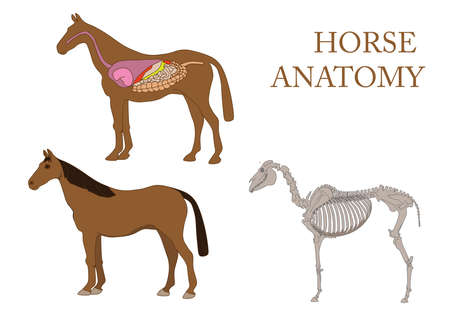 zoology, anatomy of horse, cross-section and skeleton Vector