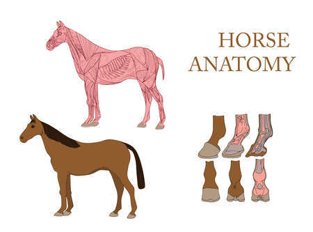 zoology, anatomy of horse, cross-section muscles and hoof