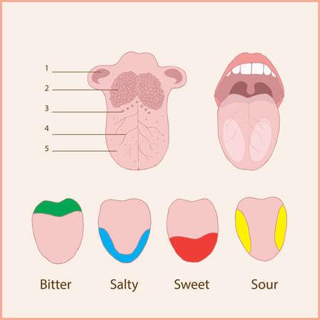 Anatomie der menschlichen Zunge Grundgeschmacksarten