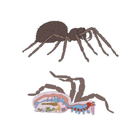 intestines: zoolog�a, anatom�a, morfolog�a, la secci�n transversal de la ara�a