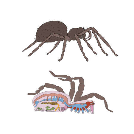 spiders: zoology, anatomy, morphology, cross-section of spider
