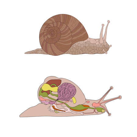 zoology, anatomy, morphology, cross-section of snail Vector