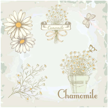 morphology: chamomile, camomile,  herb flower, floral vintage background