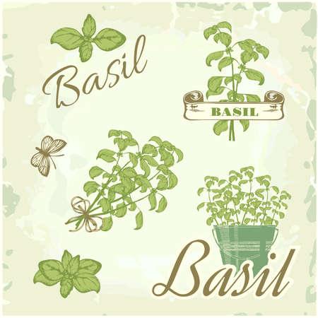 basil herb: Albahaca, hierba, planta, naturaleza, fondo vintage, caligraf�a embalaje Vectores
