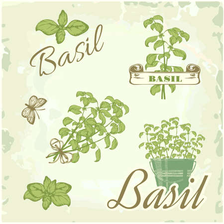 potted: Basil, herb, plant, nature, vintage background, packaging calligraphy Illustration