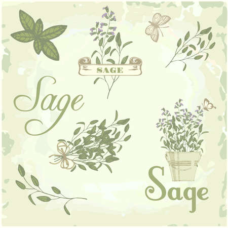 Sage, salvia, clary sage, herb, plant background, packaging calligraphy Ilustração