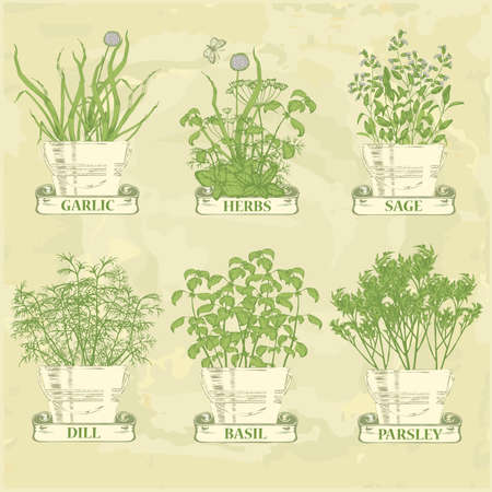 plant pot: herbs in pot, garlic, parsley, dill, sage and basil, herbal vintage background
