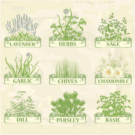 botanika: byliny, levandule, heřmánek, pažitka, česnek, petržel, kopr, šalvěj a bazalka, bylinková vintage pozadí