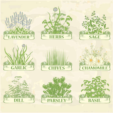 cebollin: hierbas, lavanda, manzanilla, cebolletas, ajo, perejil, eneldo, salvia y albahaca, fondo herbáceo vendimia