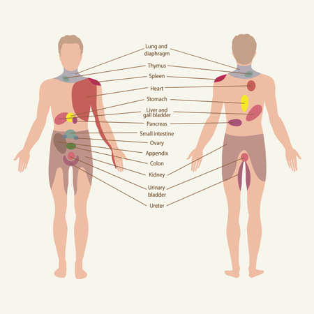 receptors:  pain zones, organs points Illustration
