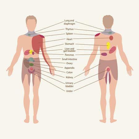 trzustka: strefy, punkty bólowe narządów Ilustracja