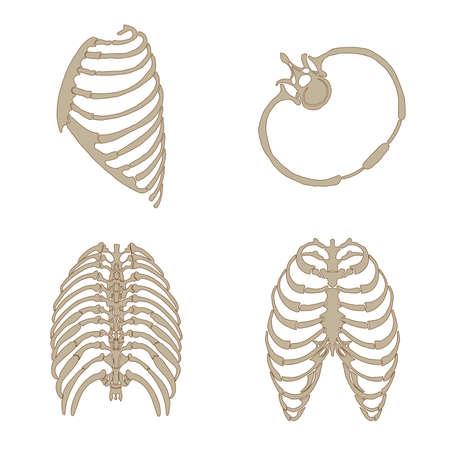 肋骨の骨の解剖学、サイド、バック、フロントと横断ビュー