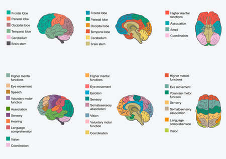 Human brain anatomy, function area, mind system Vector