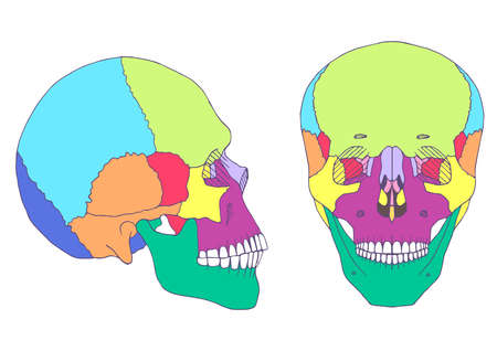 frontal view: human skull anatomy, medical illustration, front and side view