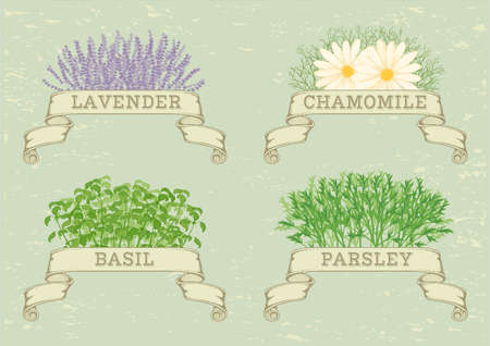herbs of provence: isolated herbs,lavender,chamomile, parsley, and basil, herbal vintage background
