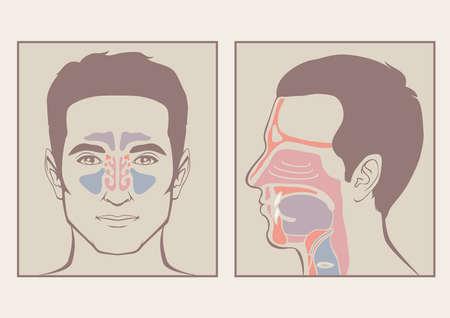 aparato respiratorio: la nariz, la garganta anatomía, boca humana, el sistema respiratorio