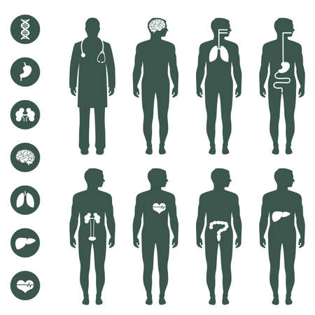 anatomy: anatom�a del cuerpo humano, vector �rganos m�dicos icono,