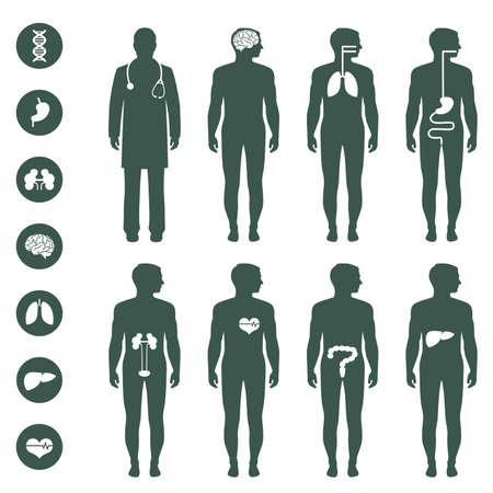 corpo umano: l'anatomia del corpo umano, vettore medico organi icona, Vettoriali