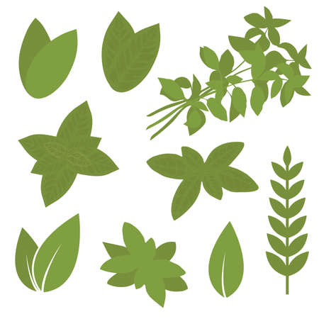 nettle: isolated herb leaf, plant illustration, bay, sage, melissa