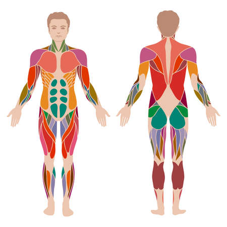 anatomia humana: vector cuerpo humano muscular, hombre muscular anatomía,