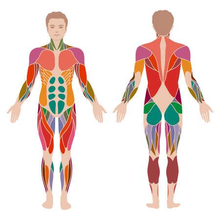 corpo umano: vettore corpo umano muscoloso, uomo di anatomia del muscolo,