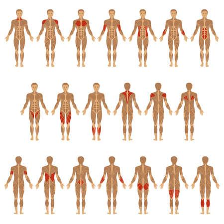 musculoso: vector cuerpo humano muscular, hombre muscular anatomía,
