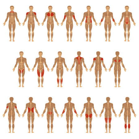 anatomie: vector gespierd lichaam, anatomie spier man,