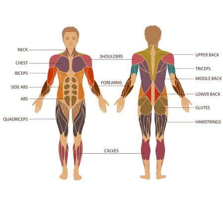 system: wektor mięśni ludzkiego ciała, mężczyzna anatomii mięśni,