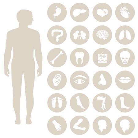 corpo: anatomy partes do corpo humano, órgãos Ícone médico do vetor, Ilustra��o