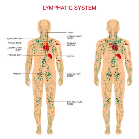 human immune system: human anatomy, lymphatic system, medical illustration, lymph nodes